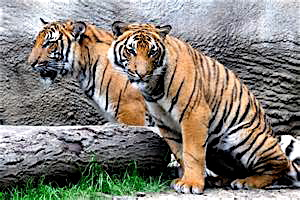 Malayan Tigers at the Cincinnati Zoo.