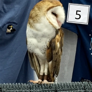 Soren the Barn Owl.