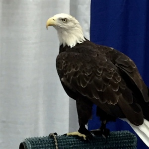 Aquila taking in the fair sights at the Raptor Rehab booth.